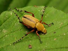 American Rose Chafer (treegrow) Tags: rockcreekpark washingtondc nature lifeonearth raynoxdcr250 arthropoda insect beetle coleoptera macrodactylus scarabaeidae