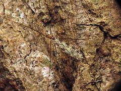 Limoniid Crane Fly (treegrow) Tags: rockcreekpark washingtondc nature lifeonearth raynoxdcr250 arthropoda insect diptera fly limoniidae limoniaannulata