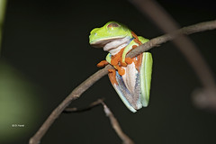 Red-eyed Tree Frog showing it's inner eyelid (featherweight2009) Tags: redeyedtreefrog agalychniscallidryas treefrogs frogs amphibians animals