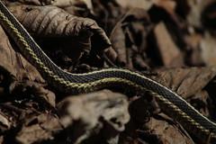 Slither (historygradguy (jobhunting)) Tags: easton ny newyork upstate washingtoncounty snake animal reptile serpentine