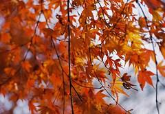 (lemonhats) Tags: canoneosrt canonef1850 lomocolor400 classiccamera vintagecamera 50mmf18 autofocusprimelens pelliclemirror iso400 35mmcolorprintfilm traditionalphotography filmphotography analoguephotography filmisnotdead filmisalive shootfilm believeinfilm filmcommunity fpper filmforever walking hikarigaokapark nerimaku tokyoto japan autumnleaves orange