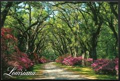 Oak and Azalea Alley - Louisiana (tico_manudo) Tags: louisiana luisiana azaleas oaktrees florayfauna