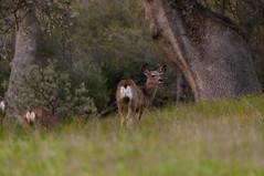 Deer (ericneitzel) Tags: america unitedstates usa deer oakhurst ca norcal nikon neitzel ericneitzel ericthomasneitzel ericthomasneitzelphotography erictneitzel etneitzel d300 nikkor wildlife animal doe travel outdoor dusk california