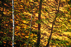 Birches (Michael Moeller) Tags: oldenburg nature lowersaxony germany