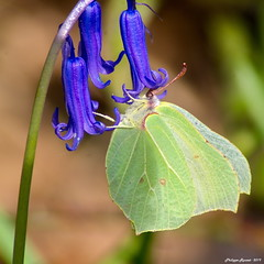 Le jaune & le Bleu (Phil du Valois) Tags: hyacinthoides nonscripta gonepteryx rhamni citron jacinthe sauvage bluebell