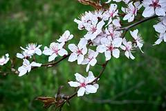 flowering apricot (uiriidolgalev) Tags: flowering apricot