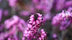 Erica (Nicola Pezzoli) Tags: val gandino seriana bergamo italia italy nature spring leffe ceride san rocco erica plant pianta flowers flower fiore macro purple pink