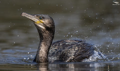 Cormorant (Mick Erwin) Tags: cormorant nikon afs 600mm f4e fl ed vr lens tc14e teleconverter iii d850 mick erwin stoke trent staffordshire wildlife nature