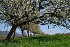 Touché mais debout (Excalibur67) Tags: nikon d750 sigma globalvision art 24105f4dgoshsma arbres trees paysage landscape floraison printemps spring frühling nature campagne