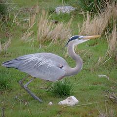 Great Blue Heron 2 - Utah (petechar) Tags: wildlife aves birds pelecaniformes ardeidae ardeaherodias greatblueheron animal bearrivermigratorybirdrefuge boxelder county utah petechar charlesrpeterson panasonicg9 leica100400