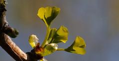 Developing Ginkgo leaves (pe_ha45) Tags: ginkgo leaves blätter garden garten leaf blatt tree baum