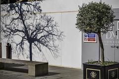 Skeleton tree (tootdood) Tags: canon6dmkii manchester stannssquare skeleton tree green leaves shadow