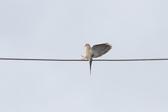 Grasping For A Wire (John Kocijanski) Tags: mourningdove bird animal wire nature wings wildlife canon400mmf56 canon7d
