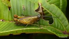 Grasshopper, Bactrophorinae (Ecuador Megadiverso) Tags: andreaskay bactrophorinae ecuador grasshopper orthoptera romaleidae