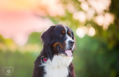 Bernese Mountain dog (Noémie_Angel's_Winks Photograpy) Tags: adorable animal background beautiful berner bernese bernois big black bouvier breed canine childhood companion cut cute dog domestic farm female friend front green hair isolated look lying mammal mountain nose obedient one pedigree pedigreed pet pink portrait posing puppy purebred sennen sennenhund small studio view watter wet white young youth