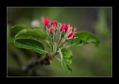 Bald blüht der Apfelbaum... (Pippilotta aus dem Tal) Tags: sel90m28g