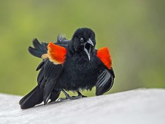 ANGRY BIRD (RED-WINGED BLACKBIRD) by Judith Gimber (Harrow Camera Club) Tags: pdi16apr annual nature prom hc