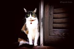 Gatto alla finestra / Cat at the window (Eugenio GV Costa) Tags: approvato gatto cat gatti cats animal animalidomestici
