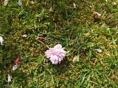 Cherry Blossom (daveandlyn1) Tags: blossom cherryflowers cherryblossom lawn grass closeup macro bladesofgrass pralx1 p8lite2017 huawei smartphone psdigitalcamera cameraphone petals flower