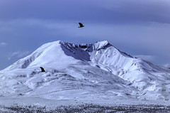 Free as a Bird . . . (JLS Photography - Alaska) Tags: alaska alaskalandscape mountains mountain gunsightmountain jlsphotographyalaska landscape sky birds ravens spring snow nature bird