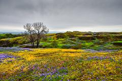 Table Mt. ~ Oroville California (champbass2) Tags: california usa tablemt oroville orovillecalifornia cherokee wildflowers superbloom spring2019 seasons flowermosaic