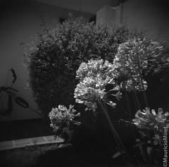 Holga-Acros-04-02.jpg (Mauricio Miret) Tags: holga acros100 ilfosol silverscan epsonv600 bw film blackandwhite
