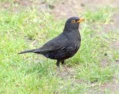 Blackbird (Tony Worrall) Tags: bird birds nature natural cute seasonal outdoor wild wildlife feathers black blackbird grass update place location uk england visit area attraction open stream tour country item greatbritain britain english british gb capture buy stock sell sale outside outdoors caught photo shoot shot picture captured ilobsterit instragram