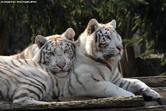 White tigers - Zoo Amneville (Mandenno photography) Tags: animal animals zoo amneville zooamneville tigers whitetiger whitetigers bigcat bigcats frankrijk france nikon natgeo natgeographic big cat cats tiger