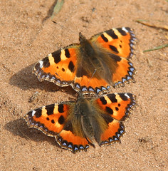Kinver Edge (richardr) Tags: kinveredge butterflies butterfly nature insect staffordshire themidlands midlands england english britain british greatbritain uk unitedkingdom europe european tortoiseshell lepidoptera