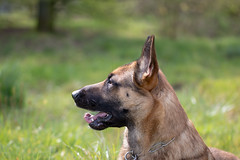 _MG_7731 (icycoldtouches) Tags: thor dog pet animal german shepherd belgian malinois puppy canon canoneos80d tamron tamron90mm