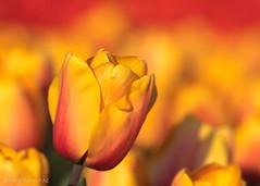 Tulipa (De Hollena) Tags: holland lespaysbas nederland niederlande noordholland nordholland thenetherlands tulip tulipa tulp tulpe