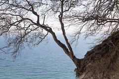 Resilient tree, Møns Klint, Denmark (mistermacrophotos) Tags: møn moen klint chalk kridt coastline denmark spring blue sky nature colourful colorful calcium cliffs 120 metres meters