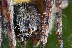 supermacro_spider (ienapixel) Tags: macro supermacro mitakon spider ragno aracnide