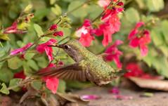 So Near To The Ground (sbisson) Tags: annshummingbird hummingbird bird wildlife garden sanjose green emerald wings flying fast hover streamlined feeding flowers