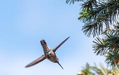 Aerodynamic In The Evening Air (sbisson) Tags: annshummingbird hummingbird bird wildlife garden sanjose green emerald wings flying fast hover streamlined feeding flowers