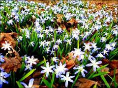 Blooming. (Papa Razzi1) Tags: blooming scilla flowers april 2019 warmest blue babyblue beautiful