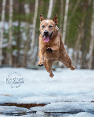 Picture of the Day (Keshet Kennels & Rescue) Tags: adoption dog ottawa ontario canada keshet large breed dogs animal animals pet pets field nature photography snow winter australian cattle ice melt leap jump high height athletic iceberg