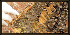 Find The Queen (M E For Bees (Was Margaret Edge The Bee Girl)) Tags: honeybees queenbee frame broodframe apismellifera apiary apiculture insects beekeeping bees beeswax cells larvae workers outdoors pollen honey white glove clumberparkwalledgarden colony