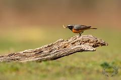 20190415-D4S_0064 (Bartek Olszewski) Tags: birds ptaki bird kukulka wood wildlife wild woods wings nature nikon natura nikond4s