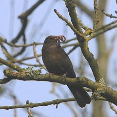 Blackbird with worms. (wurzel.pete.3.9 Million views,Ta!) Tags: 17419 blackbird worms food feeding uk surrey wild nature