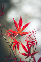 107/365 - Red Acer Leaf