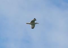 Möwe (KaAuenwasser) Tags: möwe vogel flug himmel bewegung federn