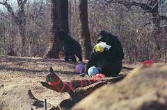 No eggs for junior (radargeek) Tags: film 35mm 2018 april okczoo oklahomacity oklahoma okc zoo gorilla easter enrichment
