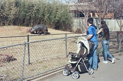 A moment to watch the hippo (radargeek) Tags: film 35mm 2018 april okczoo oklahomacity oklahoma okc zoo easter enrichment family hippo stroller