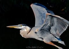 Great Blue Heron (DonMiller_ToGo) Tags: birds blackintheback rookery d810 greatblueheron birdsinflight nature
