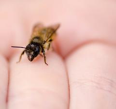 My Daughter's friend (Azca.B) Tags: macro macrounlimited bee bumblebee afriend nature naturephotography closeup
