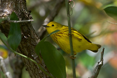 Yellow Warbler (stephaniepluscht) Tags: alabama 2019 fort morgan state historic site spring migration neotropical migratory yellow warbler