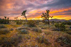 Red, Orange, Yellow Clouds Sunset! Joshua Tree National Park Wildflowers Superbloom Fine Art! California National Park Wild Flowers! Elliot McGucken Fine Art & Nature Photography! Springtime Flowers! Sony A7R III & 16-35mm Sony FE Carl Zeiss Zoom Lens F4! (45SURF Hero's Odyssey Mythology Landscapes & Godde) Tags: red orange yellow clouds sunset joshua tree national park wildflowers superbloom fine art california wild flowers elliot mcgucken nature photography springtime sony a7r iii 1635mm fe carl zeiss zoom lens f4 blooming