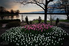 April Morning (JLDMphoto) Tags: nikon d750 nikkor spring morning tulip flowers water lake tree garden pink white blue landscape kansas waterscape outside outdoors sunrise nature clouds park