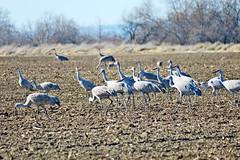 Sandhill Cranes, Grant County, WA 4/17/19 (LJHankandKaren) Tags: crane sandhillcrane